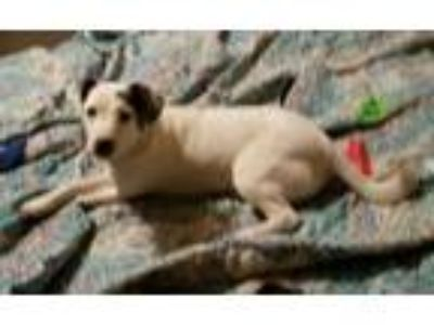 Adopt April May June a White Terrier (Unknown Type, Medium) / Mixed dog in