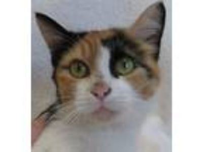 Adopt Peaches a Calico