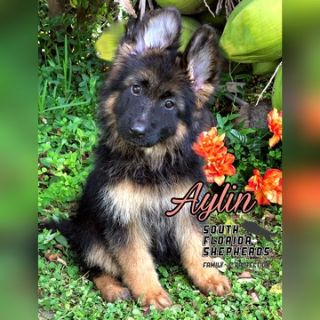 German Shepherd Dog PUPPY FOR SALE ADN-101496 - Aylin Long Coat German Shepherd puppy