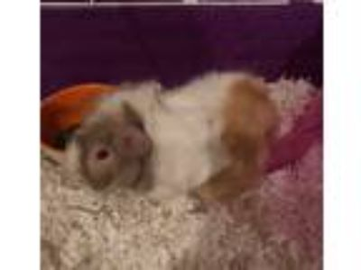 Adopt Johnnie a White Guinea Pig small animal in Papillion, NE (25311769)
