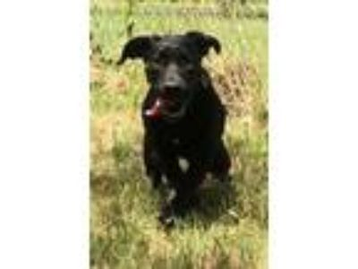 Adopt Denver a Black Labrador Retriever / Mixed dog in Brownwood, TX (25662382)