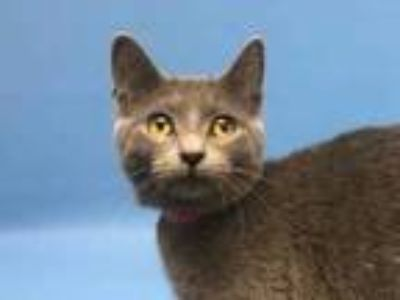 Adopt Kasey a Gray or Blue Domestic Shorthair / Mixed cat in Golden Valley