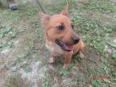Adopt Jane Curtain a Australian Cattle Dog / Blue Heeler, Jack Russell Terrier