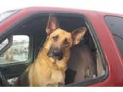 Adopt Rex a Tan/Yellow/Fawn - with Black German Shepherd Dog / Mixed dog in