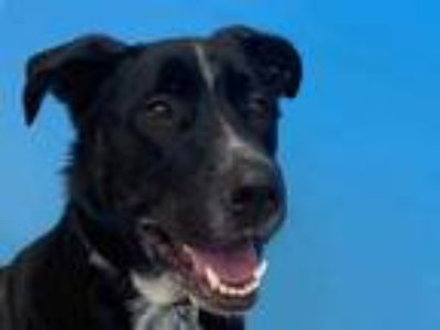 Adopt Max a Black German Shepherd Dog / Great Dane / Mixed dog in Woodbury