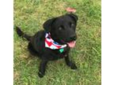 Adopt DANIEL a Black Labrador Retriever / Mixed dog in Pilot Point