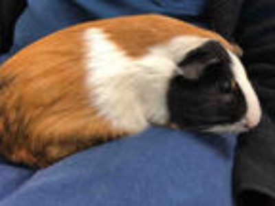 Adopt ERWIN a Black Guinea Pig / Mixed small animal in Baldwin Park