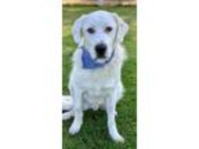 Adopt Oso a Great Pyrenees, Labrador Retriever