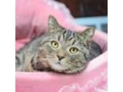 Adopt Layla a Gray or Blue Domestic Shorthair / Domestic Shorthair / Mixed cat
