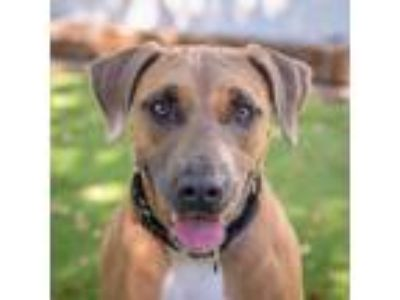 Adopt Lilah a Labrador Retriever / Mixed dog in St. Petersburg, FL (25372015)