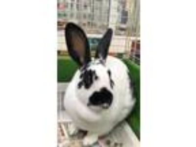 Adopt PHOEBE a Black Rex / Rex / Mixed rabbit in Houston, TX (25286575)