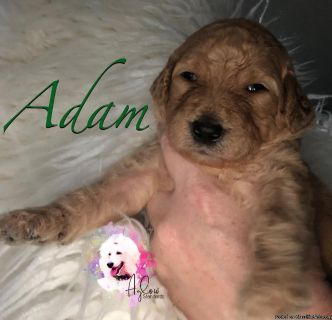 Exceptional AKC Standard Poodles Puppies in Cream or Apricot Male Female
