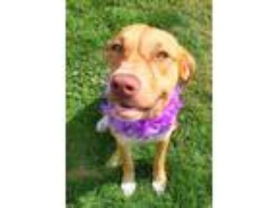 Adopt Asher a American Staffordshire Terrier, Hound