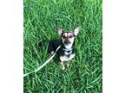 Adopt Minnie a Miniature Pinscher, Dachshund