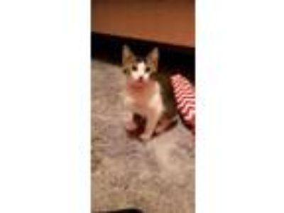 Adopt Raoulle a Domestic Short Hair