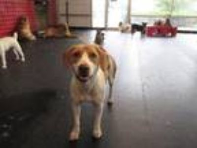 Adopt Shiloh a Hound, Brittany Spaniel