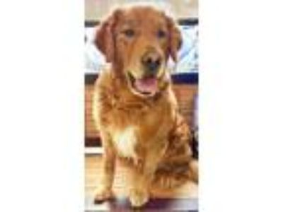 Adopt Levi a Red/Golden/Orange/Chestnut Golden Retriever / Mixed dog in
