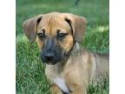 Adopt Wags a Brown/Chocolate Mixed Breed (Medium) / Mixed dog in Itasca