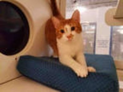 Adopt KAI a White (Mostly) Domestic Shorthair / Mixed (short coat) cat in