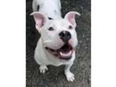 Adopt POQUE a American Staffordshire Terrier, Pit Bull Terrier