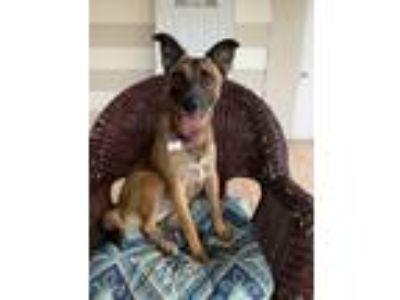 Adopt Xena a Black - with Tan, Yellow or Fawn German Shepherd Dog / Black Mouth