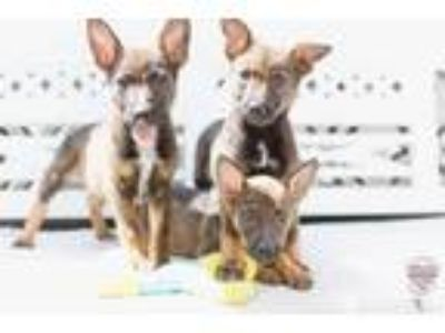 Adopt Blue Litter a Cattle Dog, Shepherd