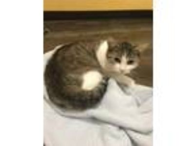 Adopt WANDA a Gray or Blue Domestic Shorthair / Domestic Shorthair / Mixed cat