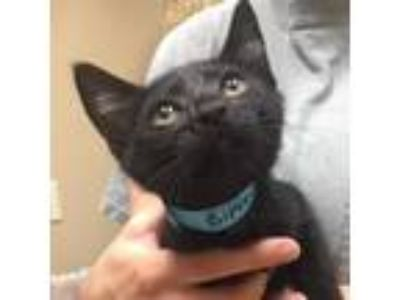 Adopt Bipsey a Domestic Short Hair