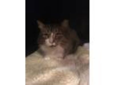 Adopt Puff Daddy a Brown Tabby Domestic Mediumhair / Mixed cat in York County