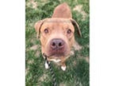 Adopt CLIFTON a Brown/Chocolate - with White American Pit Bull Terrier / Mixed