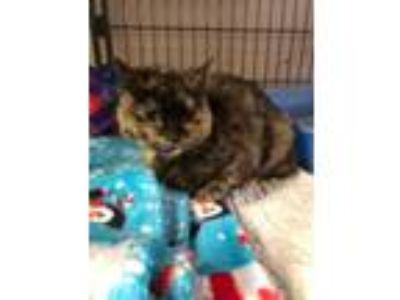 Adopt Azzle Dazzle a Domestic Short Hair