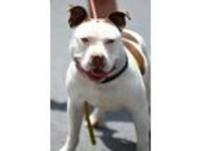 Adopt Trouble a Pit Bull Terrier