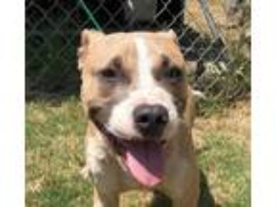 Adopt Jeeves a Pit Bull Terrier