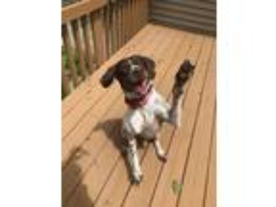 Adopt Riley a German Shorthaired Pointer / Mixed dog in Omaha, NE (25548178)