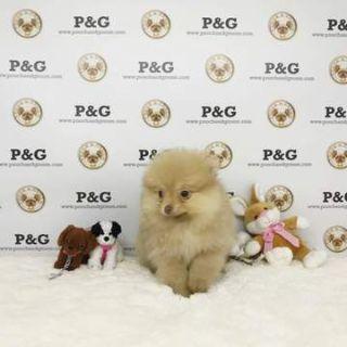 Pomeranian PUPPY FOR SALE ADN-70433 - Pomeranian  Ruby  Female