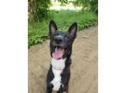 Adopt Wiley-FOSTER NEEDED a Black - with White Shepherd (Unknown Type) / Mixed