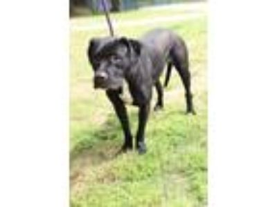 Adopt Violet a Labrador Retriever / Mastiff / Mixed dog in Little Rock