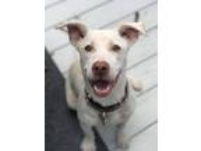 Adopt Harper a White Labrador Retriever / Mixed dog in Blackwood, NJ (25663898)