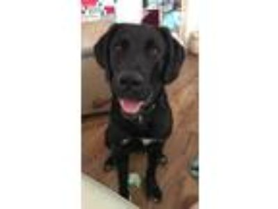 Adopt Leo a Black - with White Labrador Retriever / Great Pyrenees dog in Idaho