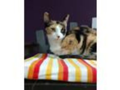 Adopt Sandy a Domestic Short Hair, Oriental Short Hair