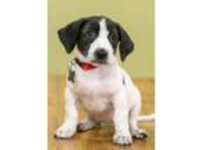 Adopt Marshmallow a Pointer, Mixed Breed