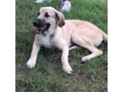 Adopt Curly a White - with Gray or Silver Great Pyrenees / German Shepherd Dog /