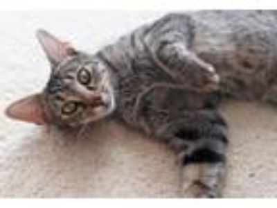 Adopt Carly a Tabby, Domestic Short Hair