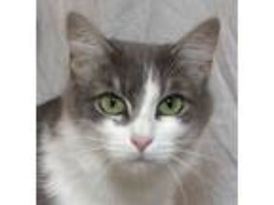Adopt Moma Bear a Gray or Blue (Mostly) Domestic Mediumhair (medium coat) cat in