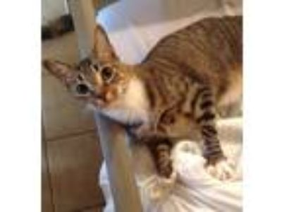 Adopt Percy a Brown Tabby American Shorthair (short coat) cat in Madisonville