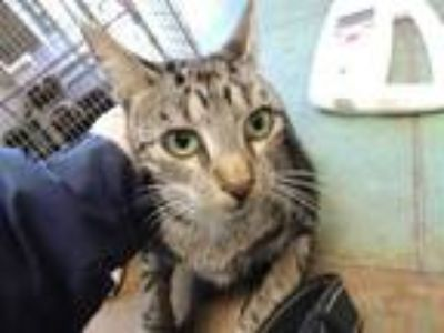 Adopt MARBLE a Brown Tabby Domestic Shorthair / Mixed (short coat) cat in