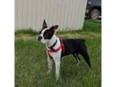 Adopt Bailee a Black - with White Boston Terrier / Mixed dog in Irving