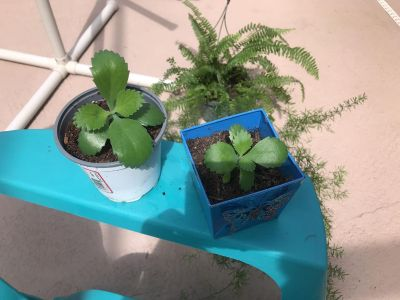 2 POTTED PREGNANT PLANTS....$1.00 each