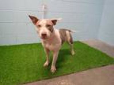 Adopt BIRDIE a White - with Tan, Yellow or Fawn American Pit Bull Terrier /