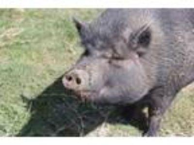Adopt a Pig (Farm) / Mixed farm-type animal in Ocala, FL (25899281)